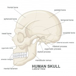 Vector Illustration Of Human skull lateral view with explanation